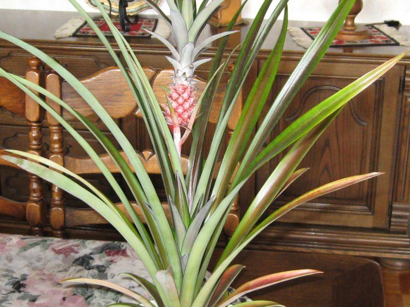 Comment poussent les ananas un oranger with comment poussent les ananas ils font a pour viter - Comment planter un ananas ...