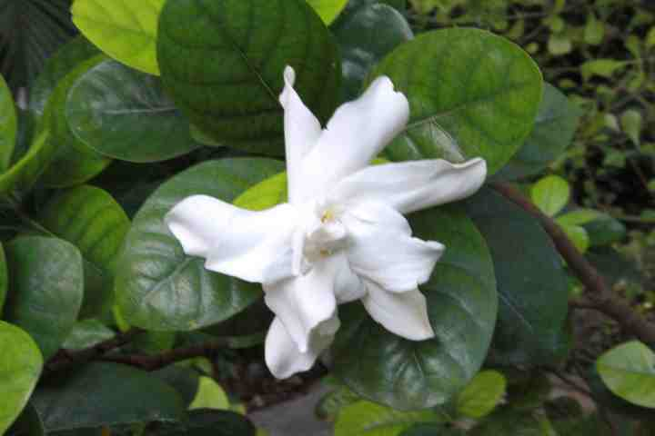 gardenia-taitensis