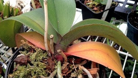 Au secours mon orchid e perd ses feuilles jardinier - Quand rempoter une orchidee ...
