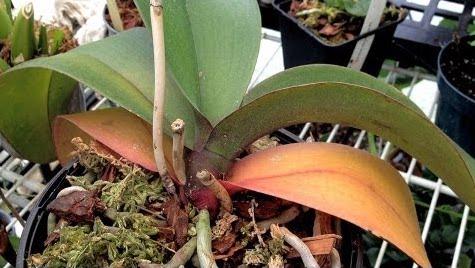 orchidee vanda perd ses feuilles