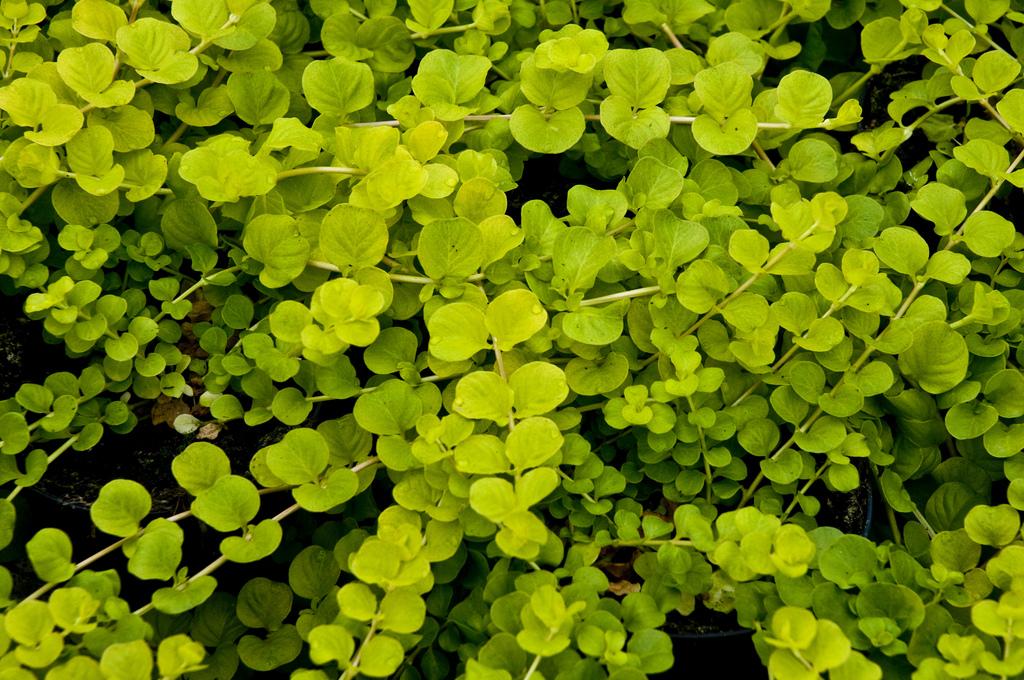 couvre sol rapide amazing plante couvre sol talus un couvre sol persistant photo dr plante. Black Bedroom Furniture Sets. Home Design Ideas
