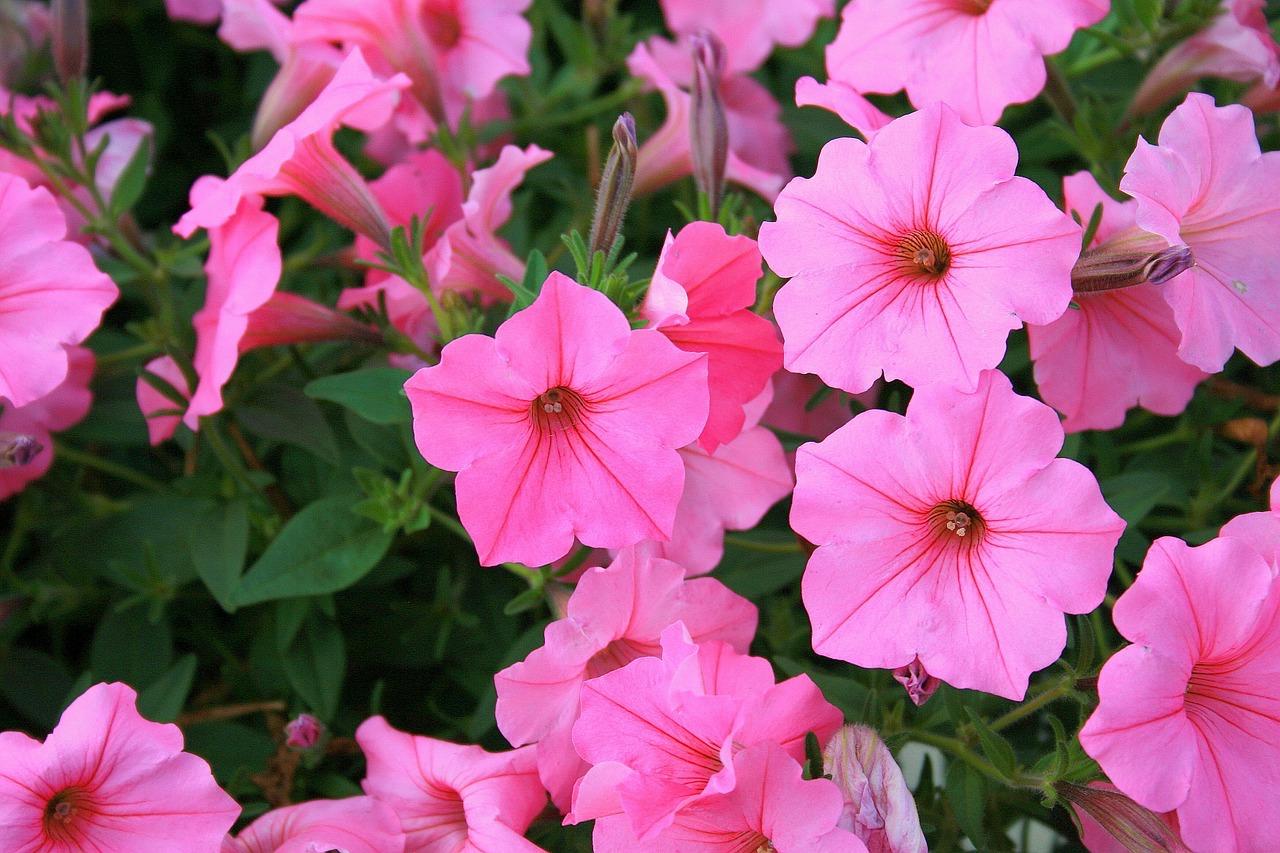 des annuelles floraison continuelle sans supprimer les fleurs fan es jardinier paresseux. Black Bedroom Furniture Sets. Home Design Ideas