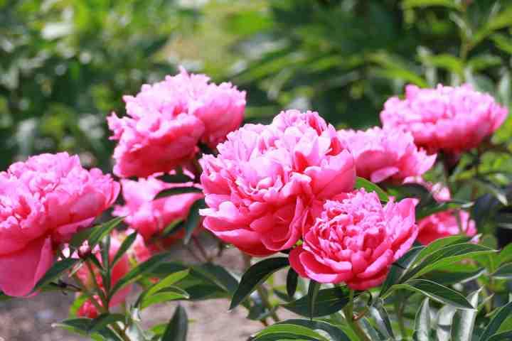 20170612J June Rose.jpg