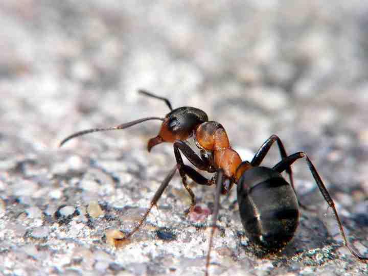 Borax pour contr ler fourmis jardinier paresseux - Comment eradiquer les fourmis ...