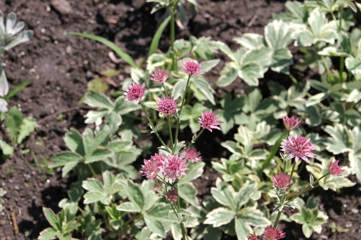 20170801G Astrantia major 'Vanilla Gorilla' HC.JPG