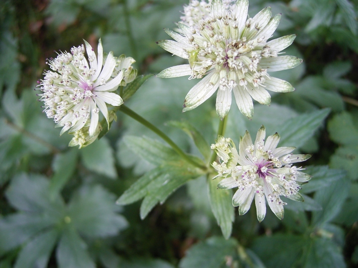 21070801B Astrantia_major_WC JPG.JPG