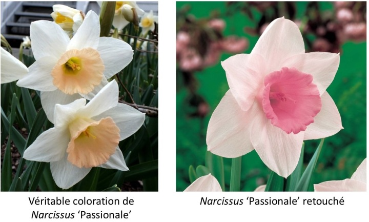 20170819B Narcissus Passionale.jpg