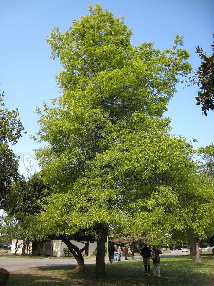 20170827E Quercus_palustris josh jackson, WC