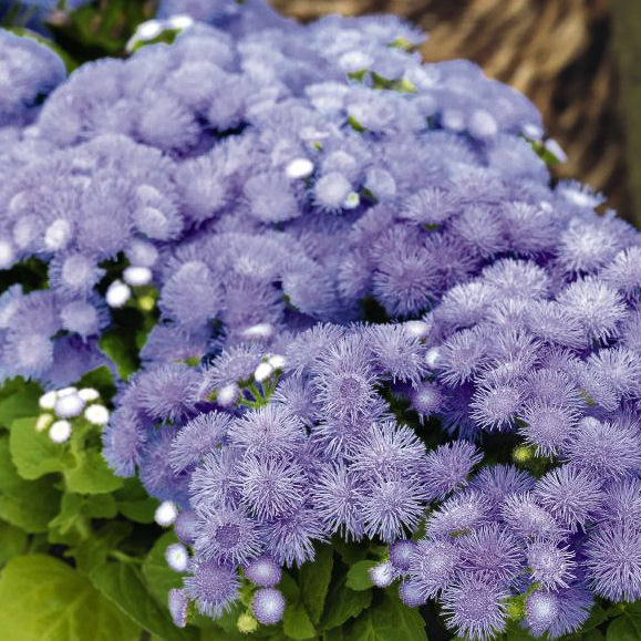 20170829L ageratum-hawaii, Swallowtail Garden Seeds.jpg
