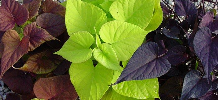 Comment conserver une patate douce d ornement l hiver jardinier paresseux - Acheter plant de patate douce ...