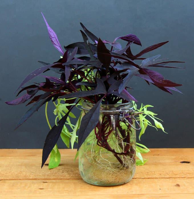 comment conserver une patate douce d ornement l hiver jardinier paresseux. Black Bedroom Furniture Sets. Home Design Ideas