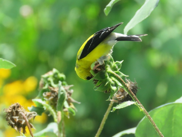 Sunflowers Bird Nature Yellow Summer Goldfinch