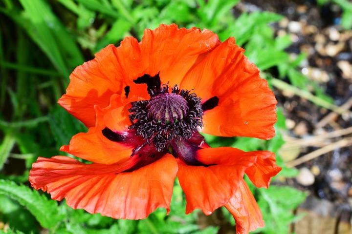 Papaver Orientale Poppy Scarlet Red Oriental Poppy
