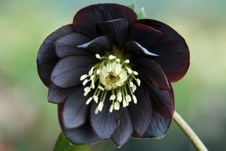 Helleborus x hybridus 'Black' laidback gardener