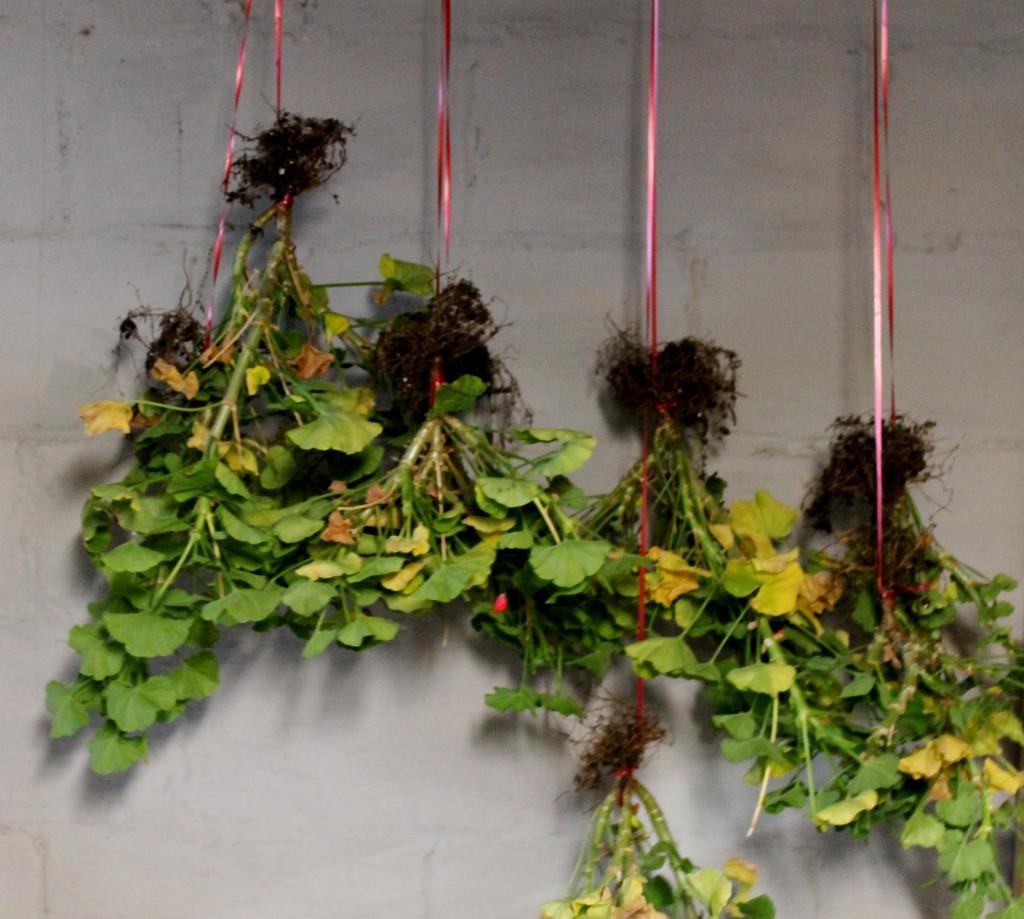 conserver les 171 g 233 raniums 187 pendant l hiver jardinier paresseux