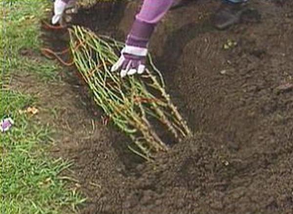 Protection Hivernale Des Rosiers Jardinier Paresseux