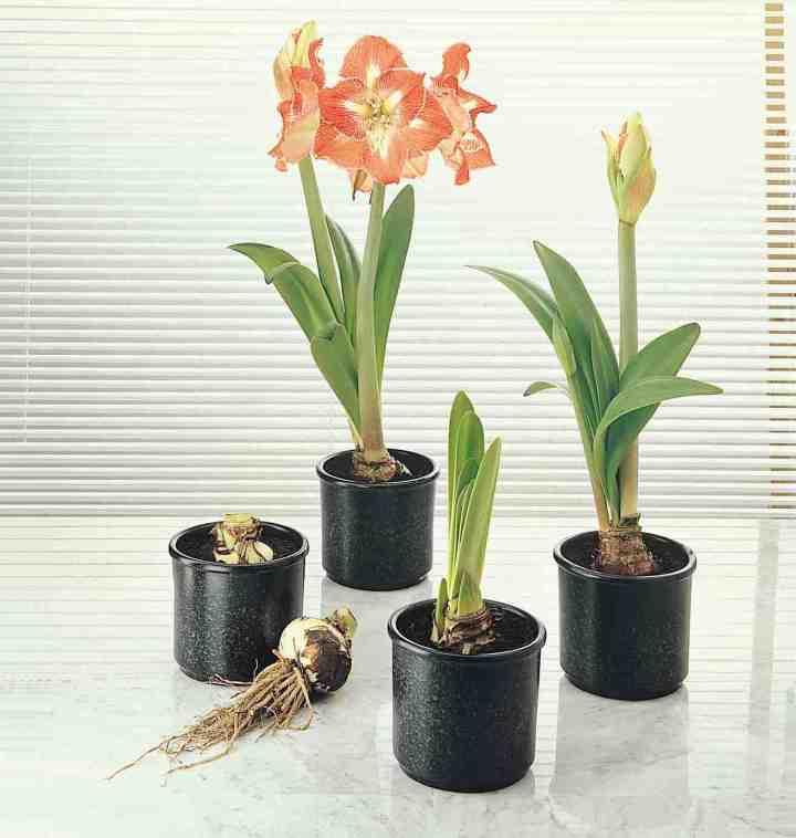 Pourquoi laissons nous le col d une amaryllis expos for Amaryllis planter bulbe