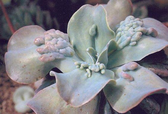 20171211J Echeveria gibbiflora carunculata yandex.ru