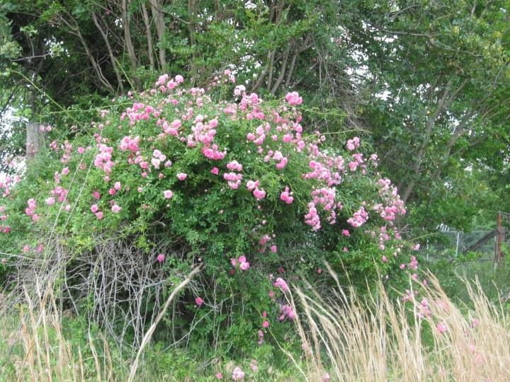 20171225E Rosa prairieplaces.blogspot.ca.JPG