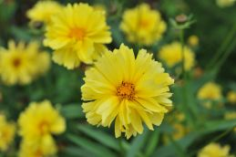 Coreopsis x hybrida Leading Lady 'Charlize'. Source: DummenOrange