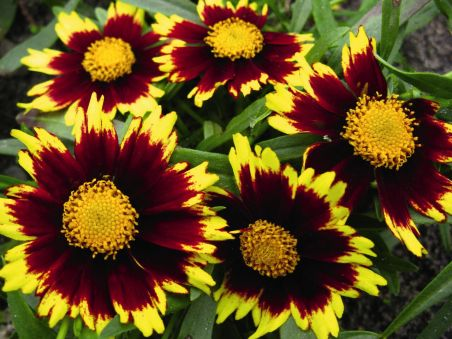 Coreopsis x hybrida Big Bang 'Cosmic Eye'. Source: DummenOrange