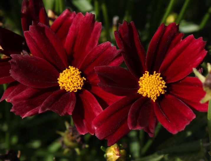 Coreopsis x hybrida Little Bang 'Daybreak' . Source: DummenOrange