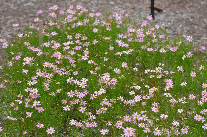 20180101G Coreopsis rosea 'American Dream' mtcubacenterorg.jpg