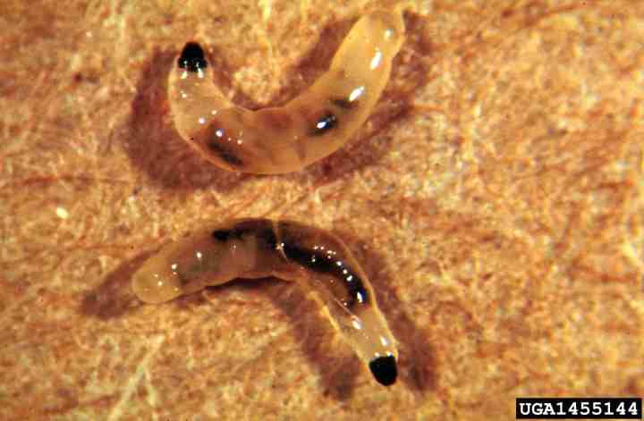 20180111C larve de sciaride ag.umass.edu