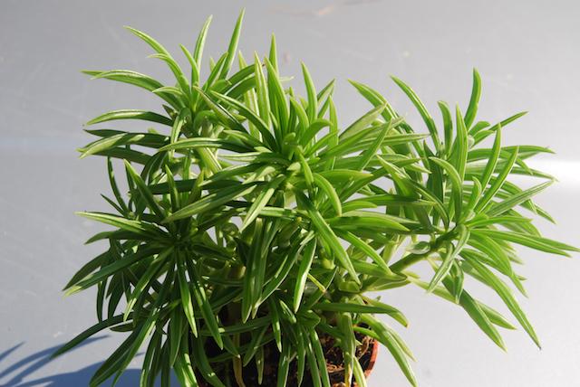20180119L Peperomia ferreyrae Succulents.us.jpg