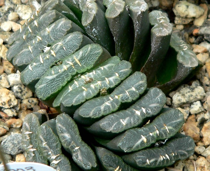 20180119N Haworthia truncata, Stan Shebs, WC.jpg