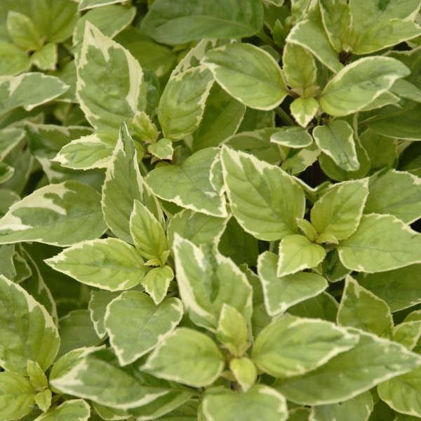 O trouver le basilic pesto perpetuo jardinier paresseux - Ou planter le basilic ...