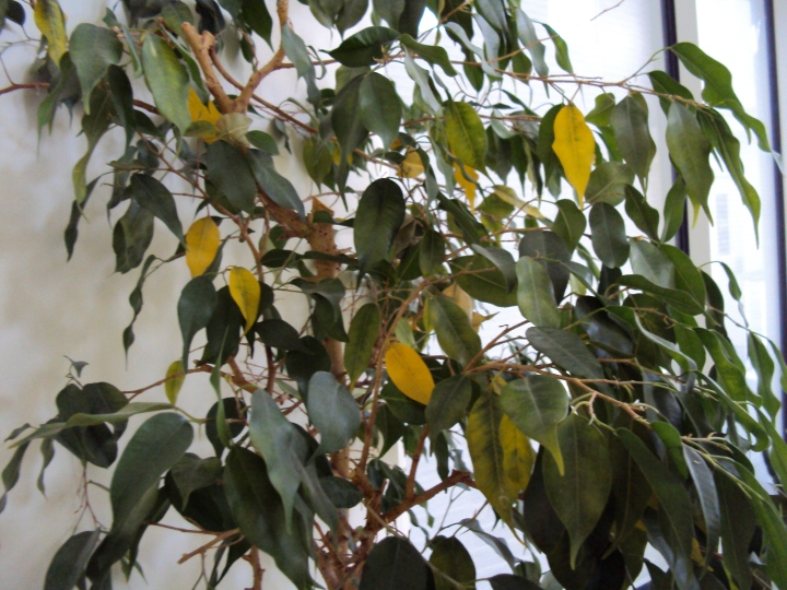 20180127J Ficus benjamina goodtogrow.files.wordpress.com.jpg