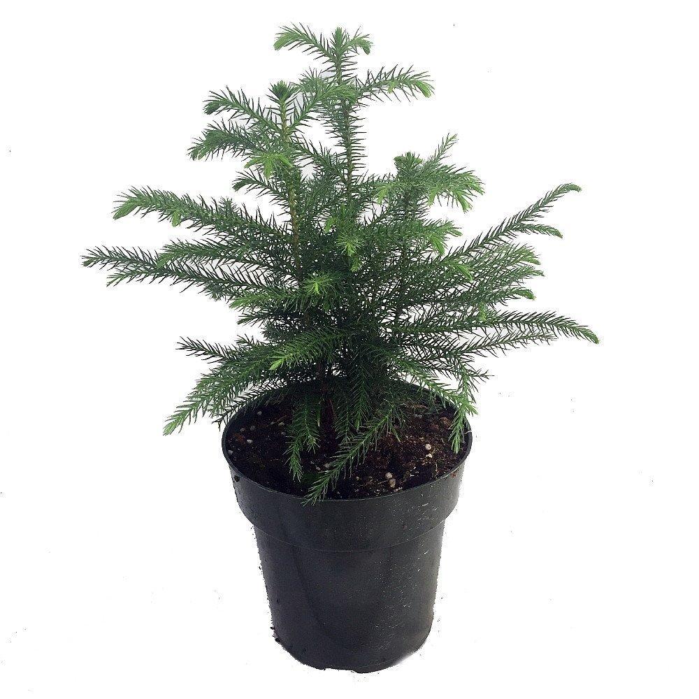 20180127R Araucaria heterophylla amazon.com_.jpg