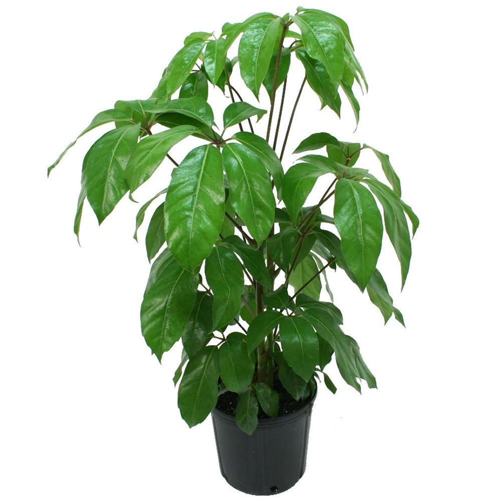 20180127S Schefflera actinophylla www.homedepot.com.jpg