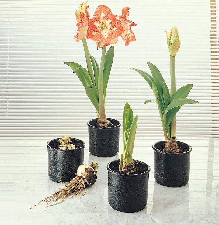 Comment faire refleurir une amaryllis jardinier paresseux for Vente bulbe amaryllis