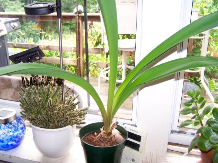 Comment faire refleurir une amaryllis jardinier paresseux for Arrosage amaryllis