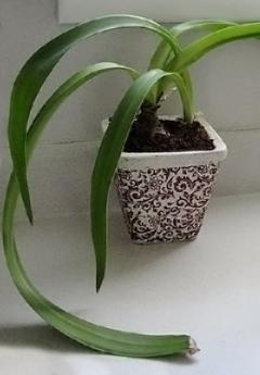 Comment faire refleurir une amaryllis jardinier paresseux for Mon amaryllis ne fait que des feuilles
