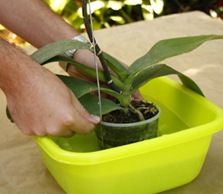 une tude donne le feu vert l arrosage des orchid es. Black Bedroom Furniture Sets. Home Design Ideas