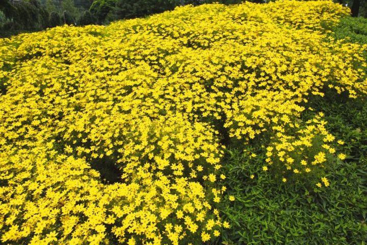 Coreopsis verticillata 'Zagreb' DummenOrange.jpg