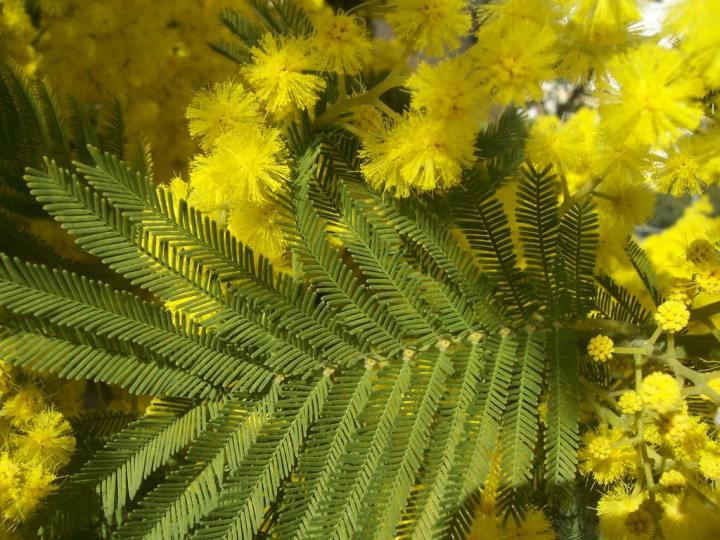 201802110 Acacia dealbata informations-documents.com.jpg