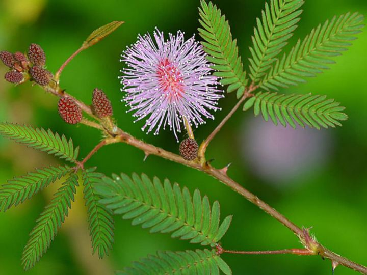 20180211G Mimosa pudica worldoffloweringplants.com.jpg