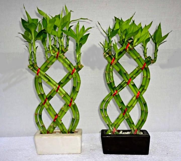 Lucky Bambou Jardinier Paresseux