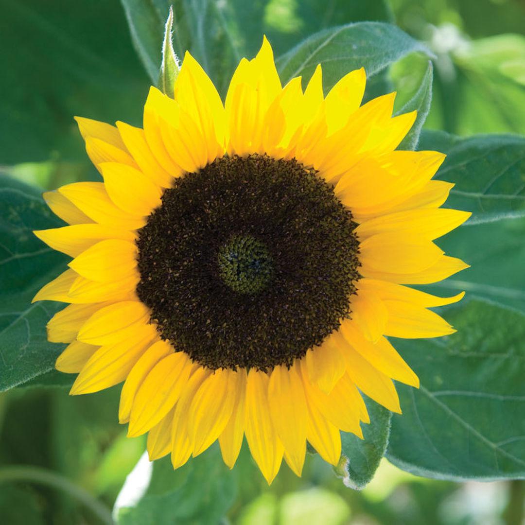 Quand Faut Il Semer Les Tournesols récolte de semences – jardinier paresseux