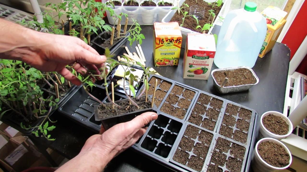 Temp ratures de germination l gumes et herbes for Temps de germination gazon