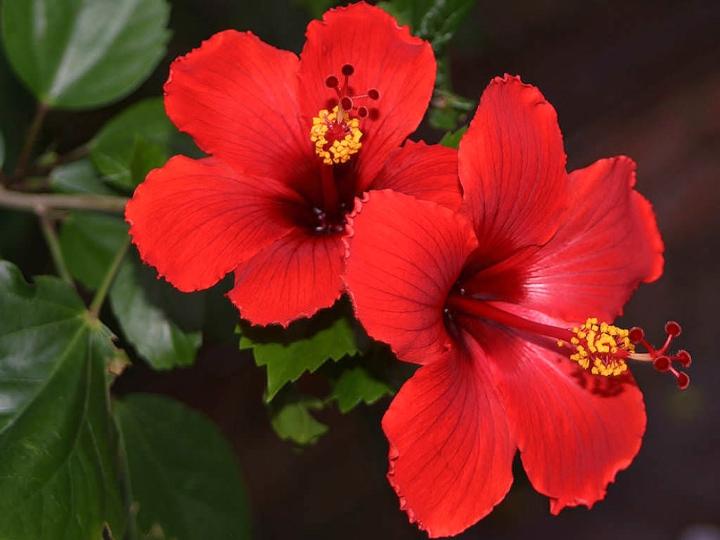 Comment bouturer un hibiscus – Jardinier paresseux