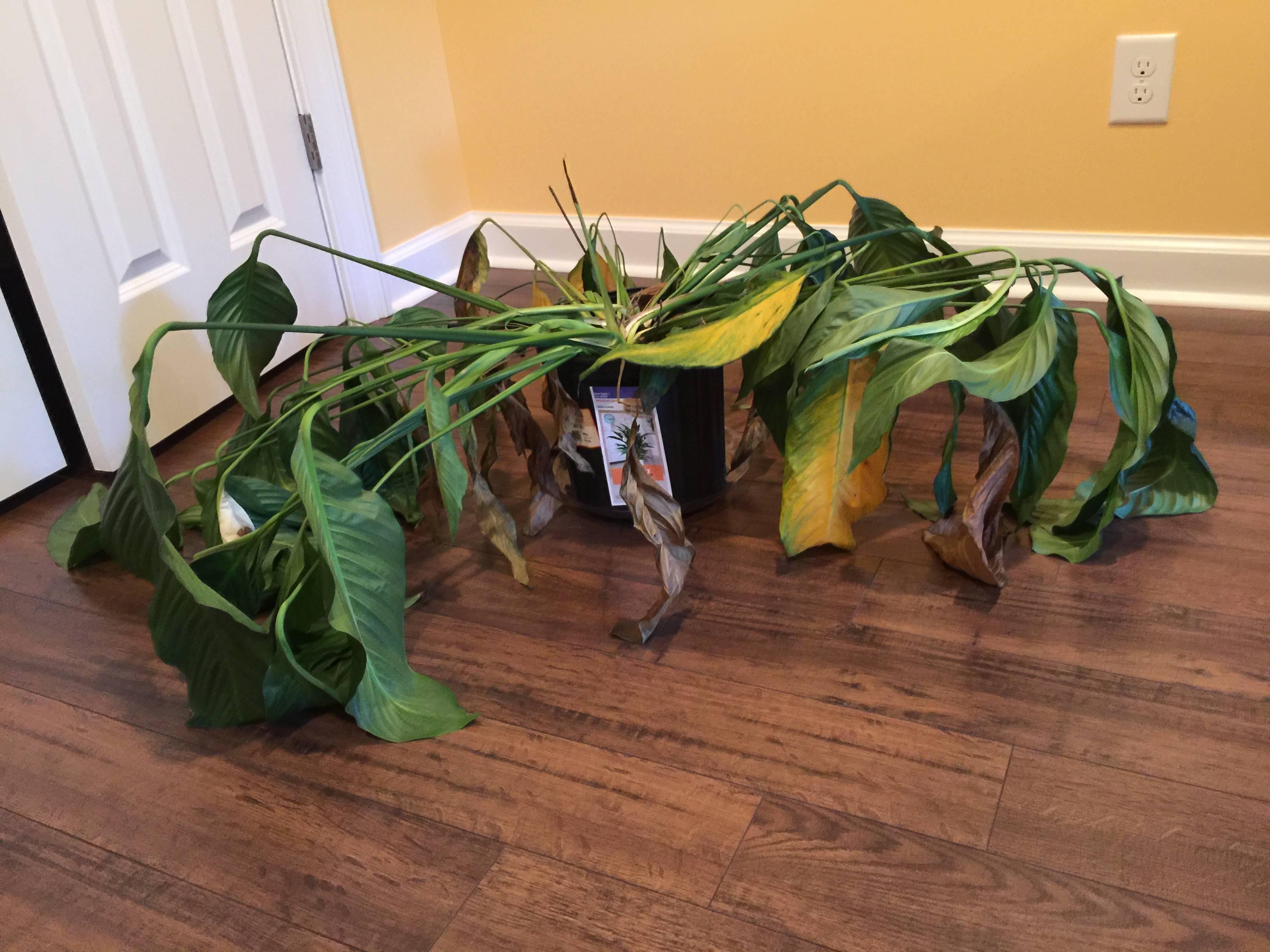 le spathiphyllum pas tout fait aussi facile cultiver qu on le dit jardinier paresseux. Black Bedroom Furniture Sets. Home Design Ideas