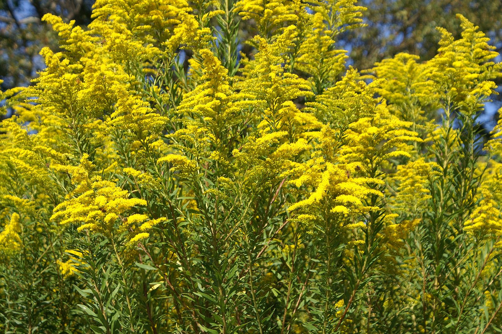 20180328K Solidago_canadensis, Harry Rose, WC).jpg
