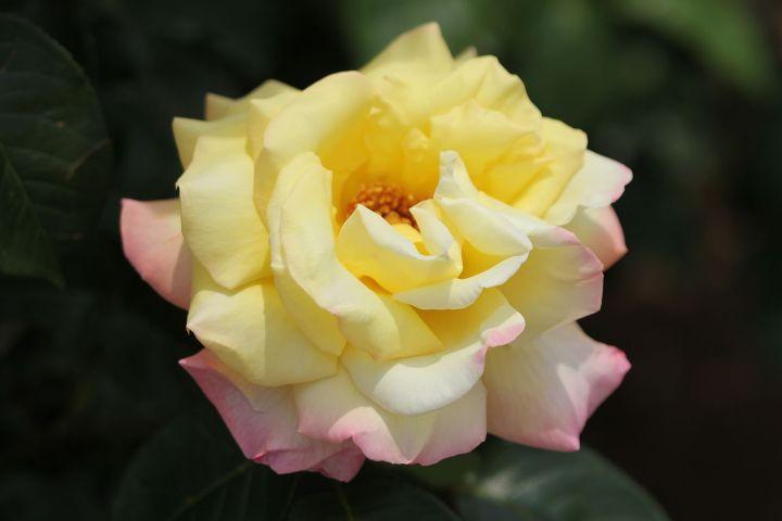 20180423C Rosa 'Peace', Arashiyama, WC.jpg