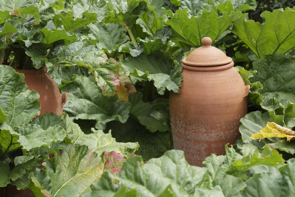 Culture Et Entretien De La Rhubarbe la rhubarbe: pour les jardiniers patients – jardinier paresseux