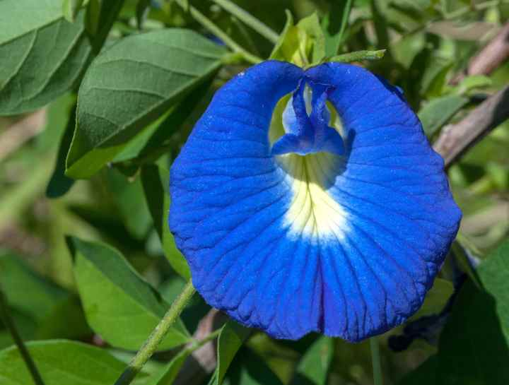 20180725G Clitoria ternatea The Photographer, Wikimedia Commons.jpg